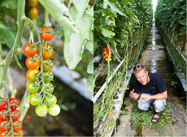 Tomato growing | insimoneskitchen.com