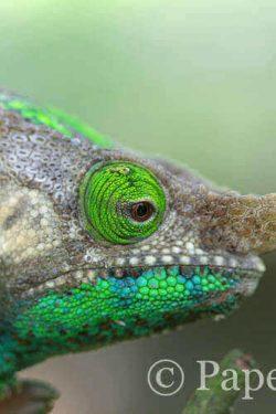 Kameleon van Madagascar | simoneskitchen.nl