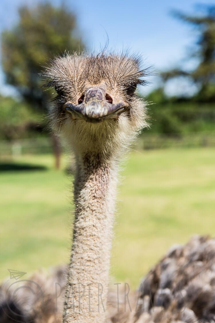 Struisvogel in Kenia | simoneskitchen.nl